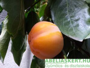Diospyros kaki Mela - Kakiszilva datolyaszilva, hurma, gyümölcs haron