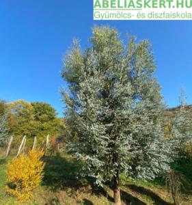 Eucalyptus gunnii Silver Drop - Tasmaniai eucaliptusz eladó