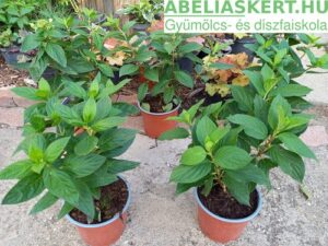 Hydrangea paniculata 'Pastelgreen' - Bugás hortenzia