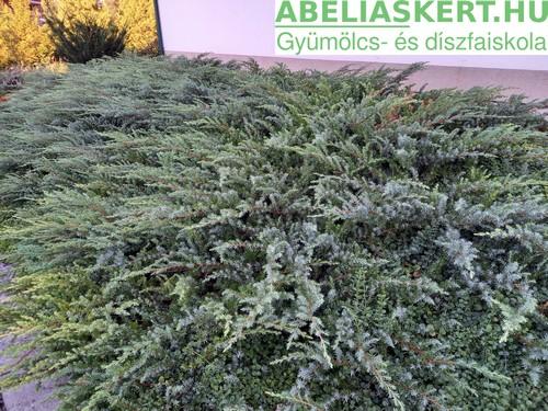Juniperus Schlager- Fövenyboróka terülő boróka