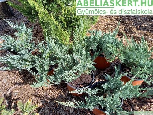 Juniperus horisontalis 'Blue Chip' - Henye boróka (kúszo tuja)