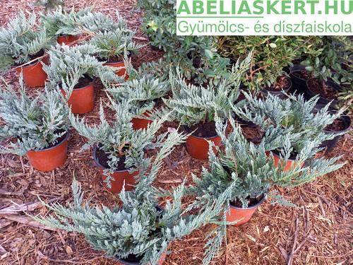 Juniperus horisontalis 'Blue Chip' - Henye boróka kúszo tuja