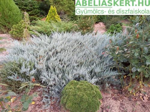 Juniperus horisontalis Blue Chip - Henye boróka kúszo tuja