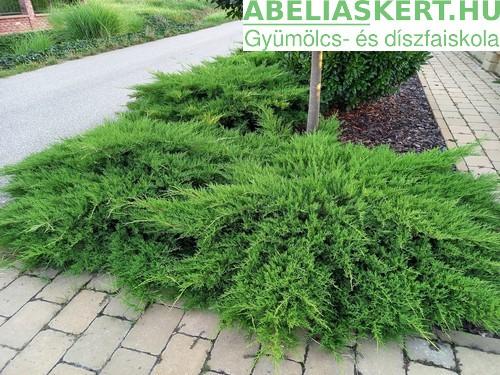 Juniperus Prince of Wales - Kúszó-, talajtakaró henye boróka