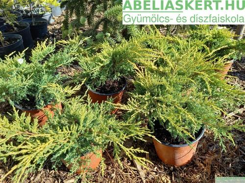 Juniperus Gold Coast - Kínai terülőboróka kúszó boróka