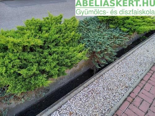 Juniperus media Gold Coast - Kínai terülőboróka kúszó boróka