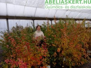 Lagerstroemia Tonto - Kínai-selyemmirtusz hogyan gondozzuk sötétrózsaszín virággal