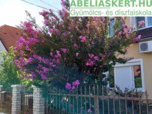 Lagerstroemia Zuni -Kínai selyemmirtusz fajta lila virággal