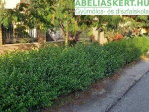 fagyal sövény elado Ligustum ovalifolium - Széleslevelű fagyal sövény
