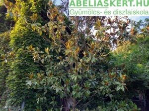 Örökzöld magnólia eladó Magnolia grandiflora''Galissonière –Nagyvirágú liliomfa
