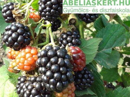 Rubus fruticosus Navaho - Tüskétlen-feketeszeder