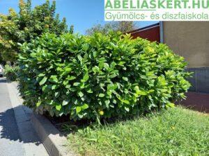 babérmeggy szeged Prunus laurocerasus 'Baumgartner'- Kaukázusi babérmeggy