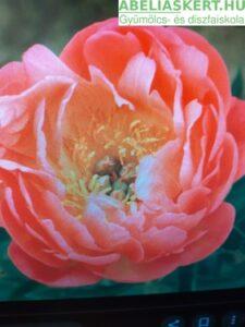 'Paeonia lactiflora 'Coral Sunset' - Pünkösdi rózsa ár ( lazac rózsaszín kései bazsarózsa)