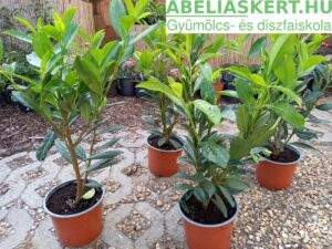 babérmeggy sövény Prunus laurocerasus 'Caucasia' - Kaukázusi babérmeggy