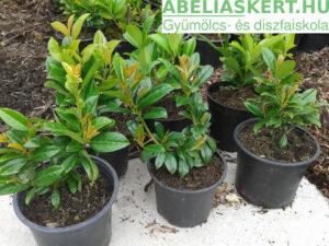 Prunus laurocerasus Novita - Novita babérmeggy
