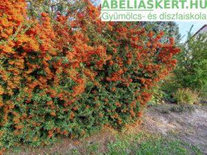 Pyracantha 'Orange Charmer- Tűztövis sövény