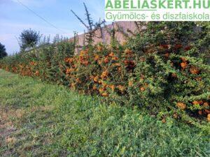 Pyracantha Orange Charmer Tűztövis sövény