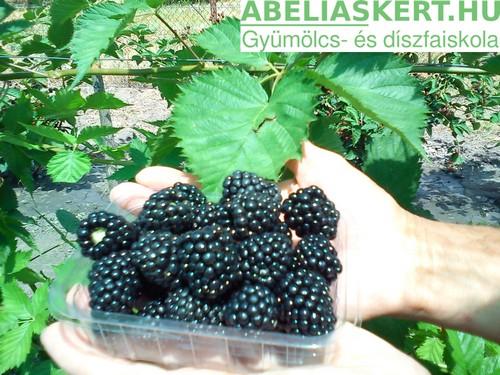 Rubus fruticosus Dirksen-tüske nélküli fekete szeder