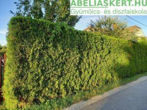Thuja occidentalis Smaragd Smaragd oszloptuja nyugati tuja ár