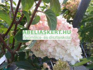Hydrangea paniculata Vanille Fraise bugás hortenzia elado Abéliáskert faiskola Szeged kertészet