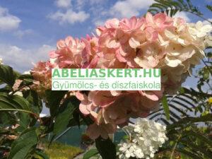 Hydrangea paniculataVanille Fraise bugás hortenzia elado Abéliáskert faiskola Szeged kertészet