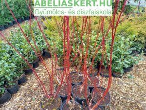 Cornus alba Sibirica Variegata - Fehértarka som bokor elado