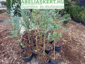 Eucalyptus gunnii Silver-Drop - Tasmaniai Eucaliptusz