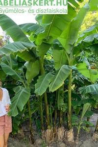 Musa basjoo - Télálló banánfa eladó Abéliáskert faiskola Szeged kertészet