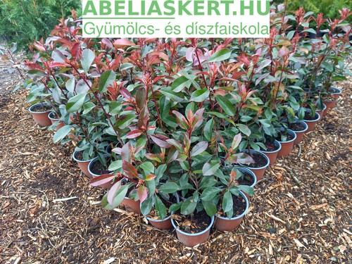 Photinia fraserrii Red Robin-kerti voros korallberkenye elado olcson  Abeliaskert faiskola Szeged