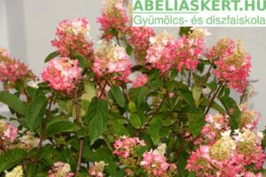 Pinky-Winky-Bugas hortenzia-Hydrangea-paniculata-elado-Abeliaskert-faiskola-Szeged-kerteszet