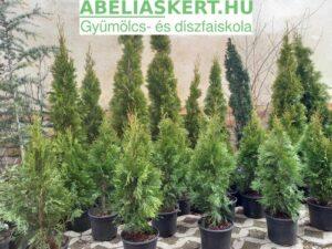 Thuja occidentalis Smaragd oszlopos tuja eladó Abélisákert faiskola Szeged-Kertészet