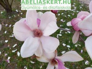 Magnolia soulangeana - Nagyvirágú liliomfa magnólia fa