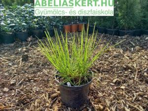 Sesleria autumnalis - Őszi Nyúlfarkfű