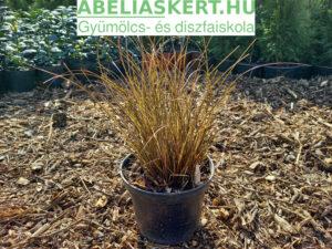 Carex petriei 'Milk Chocolate' - Sás