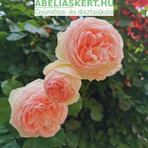 Meddig él egy tearózsa? Öreg rózsa metszés. Abéliáskert faiskola Szeged kertészet