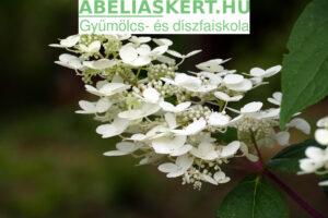Hydrangea paniculata Kyshu Bugás hortenzia elado Abéliáskert faskola Szeged kerteészet