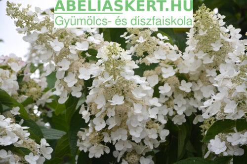Hydrangea paniculata (bugás hortenzia) metszés, gondozás, ültetés. Abéliáskert faiskola Szeged Kertészet