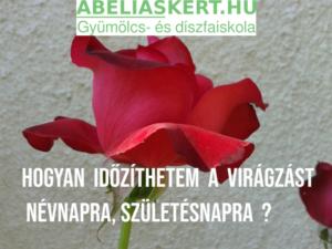 magastörzsű rózsa tearózsa metszés Abéliáskert faiskola Szeged kertészet