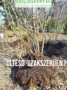Magnolia gonozás ültetés liliomfa eladó Abéliáskert faiskola Szeged