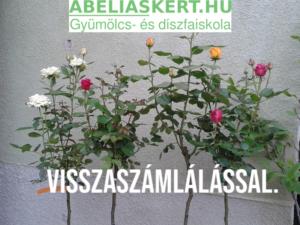 rózsák metszés Abéliáskert faiskola Szeged kertészet bokor rózsa metszés