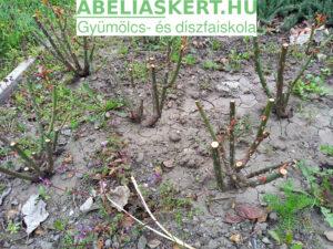 rózsa faják elvirágzott rózsa metszés Abéliáskert faiskola Szeged kertészet