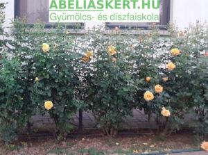 Rózsa metszés, gondozás. Abéliáskert faiskola Szeged kertészet