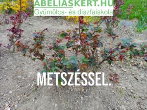 Rózsafa metszés Abéliáskert faiskola Szeged- Kertészet