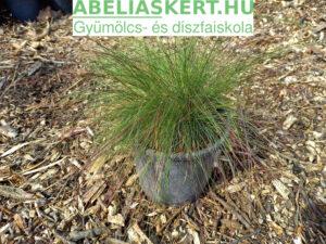 Festuca (amethystina) 'Walberla' – Lila csenkesz