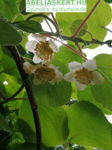 Actnidia chinensis 'Hayward'- Termő kivi növény virága