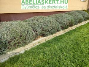 Lavandula angustifolia 'Hidcote Superior' - Keskenylevelű (angol) levendula eladó Abéliáskert faiskola Szeged Kertészet