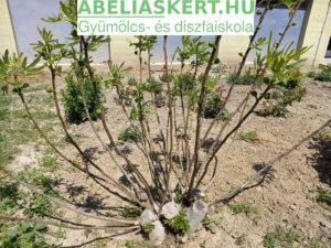 Télálló fügefa taasszal, nyári terméskezdeményekkel