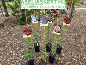 Clematis Westerplatte - nagyvirágu iszalag elado Abéliáskert faiskola Szeged Kertészet
