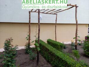 Actnidia chinensis 'Hayward'- Termő kivi lugas támrendszer