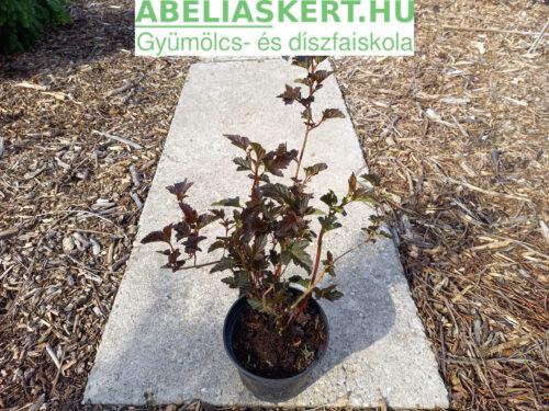 Physocarpus opulifolius 'Atrpurpurea' - Bangitalevelű hólyagvessző
